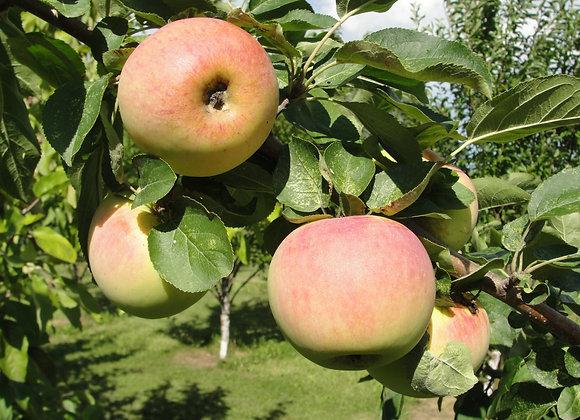 Apple - Dwarf Goodland