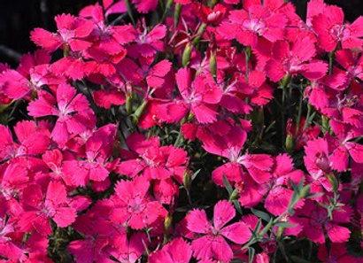 Carnation -Zing Rose