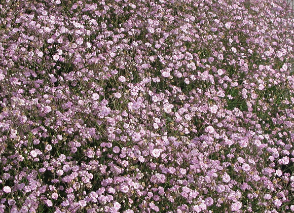 Baby's Breath - Festival Pink Lady