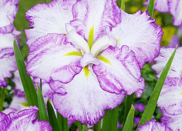Iris - Dinner Plate Tiramisu