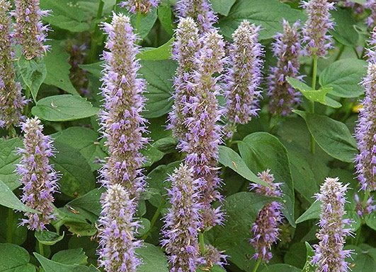 Anise-Hyssop - Blue Fortune
