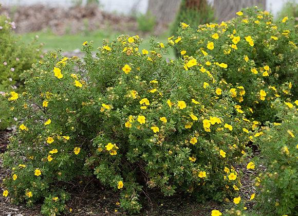Potentilla - Happy Face Yellow