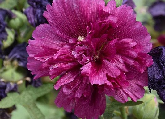 Hollyhock - Queeny Purple
