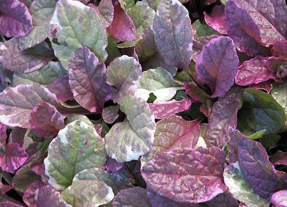 Bugleweed - Burgundy Glow