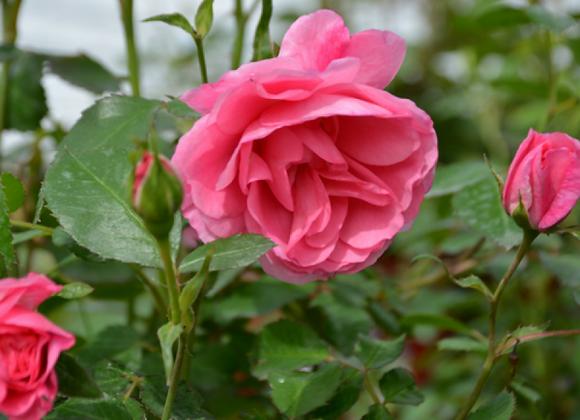 Hardy Rose - Morden Belle