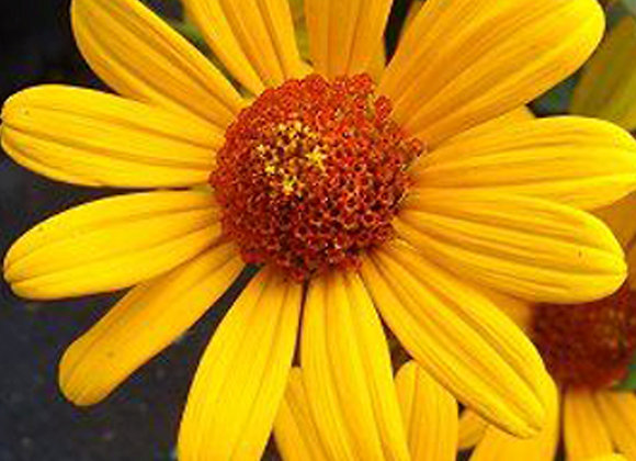 False Sunflower - Summer Nights
