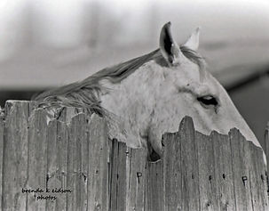 Horse Looking thru a Fence