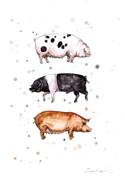 Native Pig Breeds | Original Ink & Watercolour
