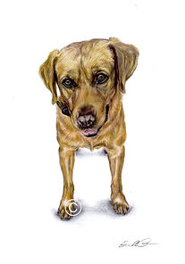 Fox Red Labrador Drawing, Dog Portrait, Eleanor Tomlinson