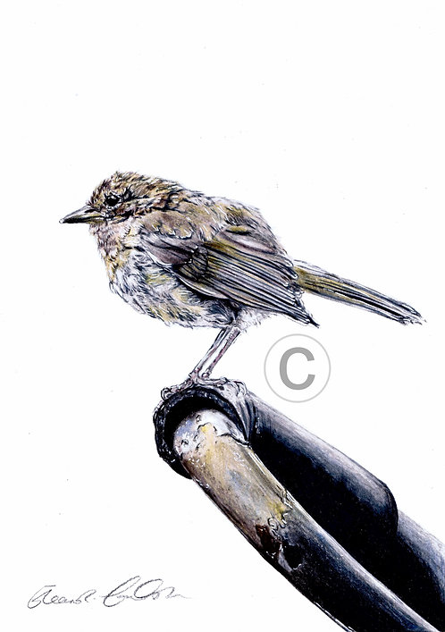 Garden Visitor | Original Coloured Pencil Drawing | Mounted