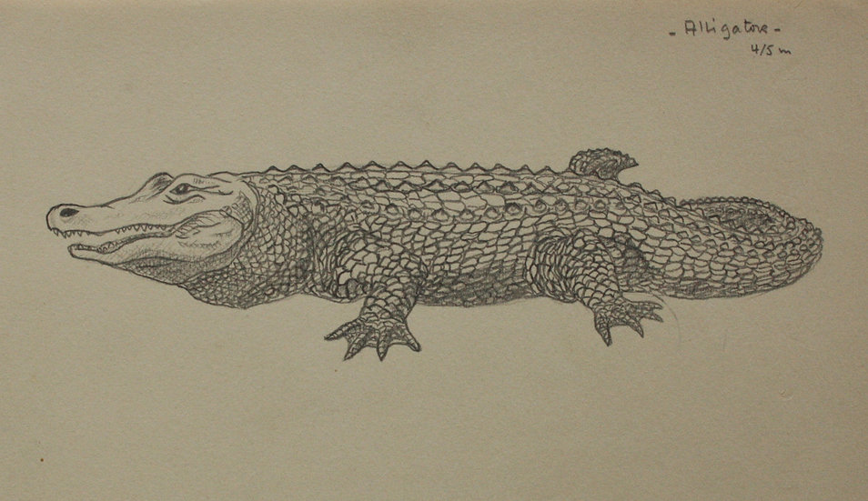 "Dessin Vintage - ""Étude d'Alligator / Crocodile"" 1941 #19"