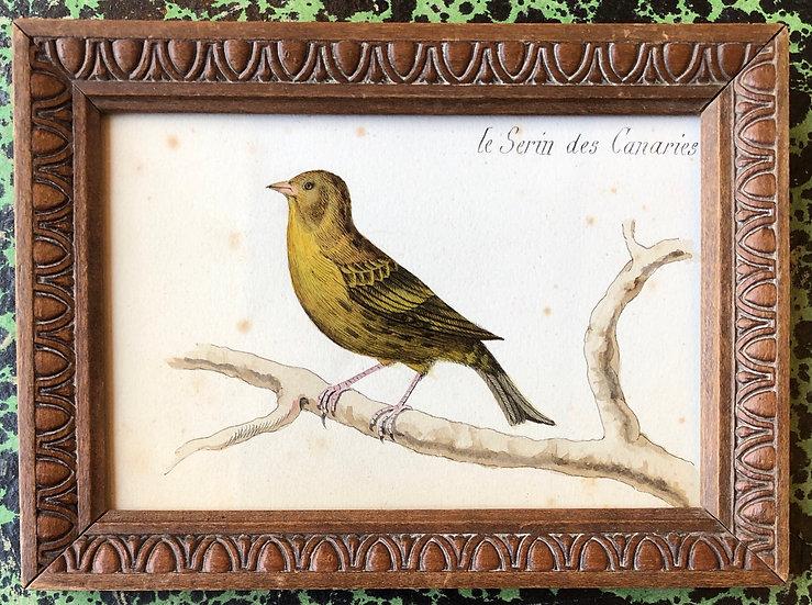 """""""Serin des Canaries"""" - Aquarelle XIXe siècle"""