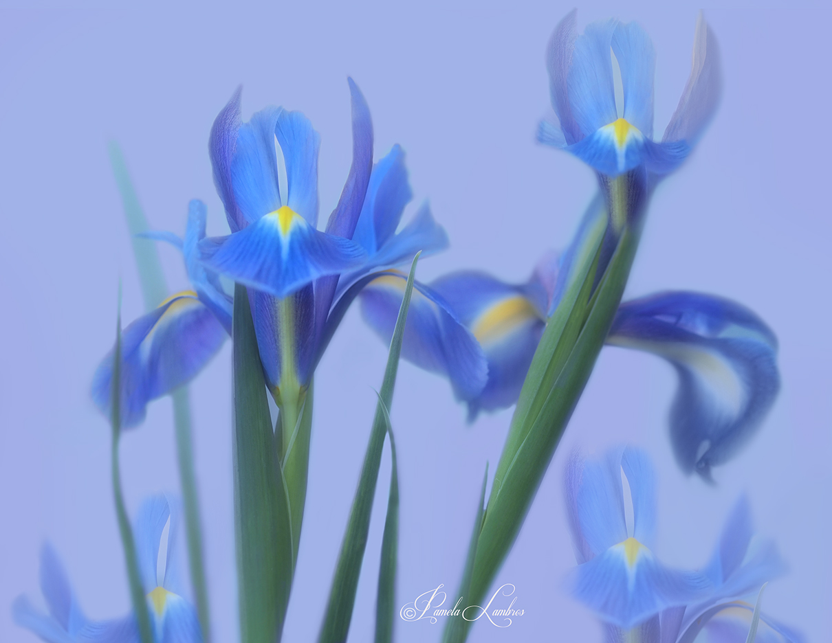 MOODY BLUE IRISES