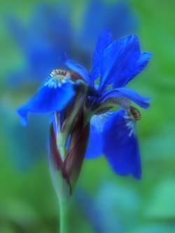 BLUE DAWNING
