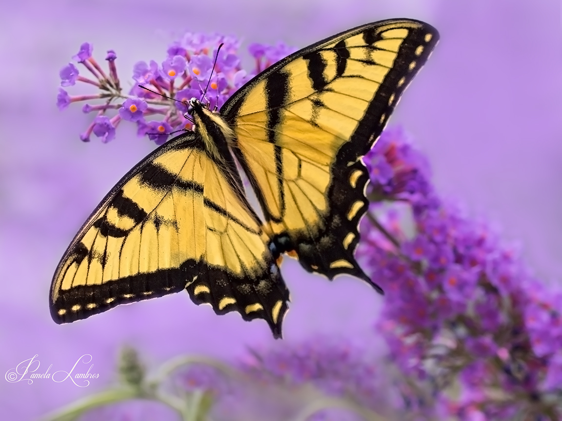 SWALLOWTAIL DREAMS