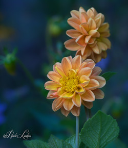 ECLIPSED DAHLIAS