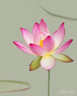 THE LADY IS A LOTUS