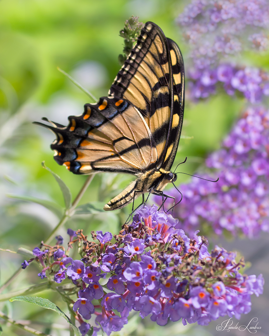 SWALLOWTAIL-GREETINGS-WEB