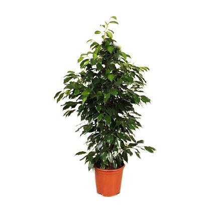 Ficus benjamina Danielle (Weeping fig)