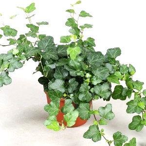 Hedera helix mix (English ivy)