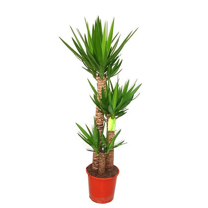 Yucca (Adam's needle)