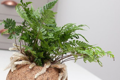 Rabbit foot fern, Davallia, vetical gardens, green walls