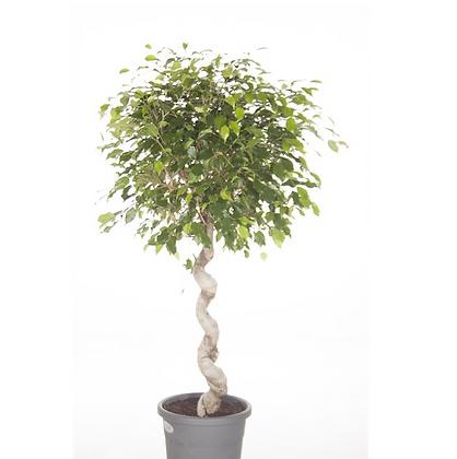 Ficus benj exotica spiral