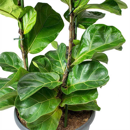 Ficus lyrata bumbino (Fiddle-leaf fig)