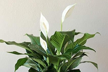 spathiphyllum, peace lily, green wall, vertical garden