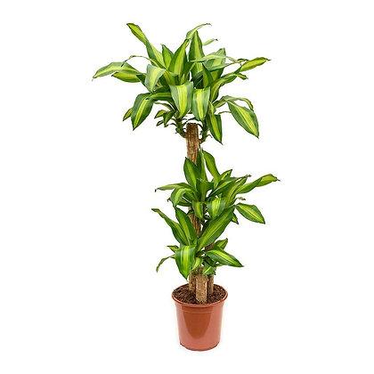 Dracaena fr. massangeana (Corn plant)