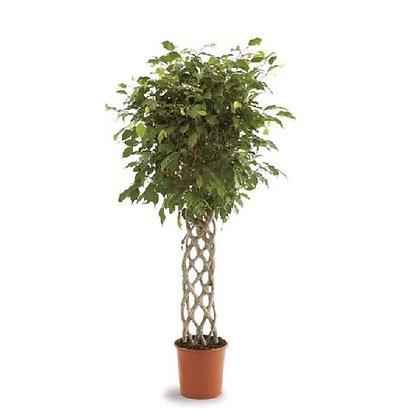 Ficus benj exotica mat