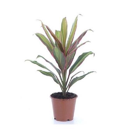 Cordyline fruticosa (Ti plant)