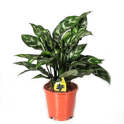 Aglaonema maria (Chinese evergreens)