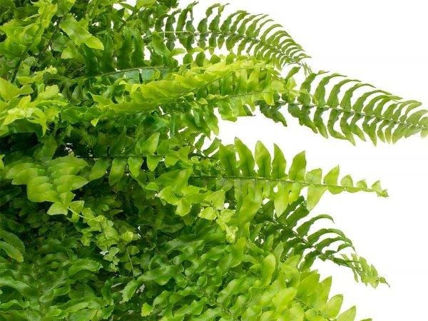 Sword Fern, nephrolepis, green wall, vetical garden