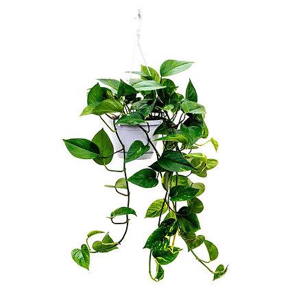 Epipremnum (Money Plant) hanging