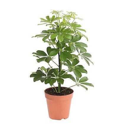 Schefflea arbo. Nora (Umbrella tree)