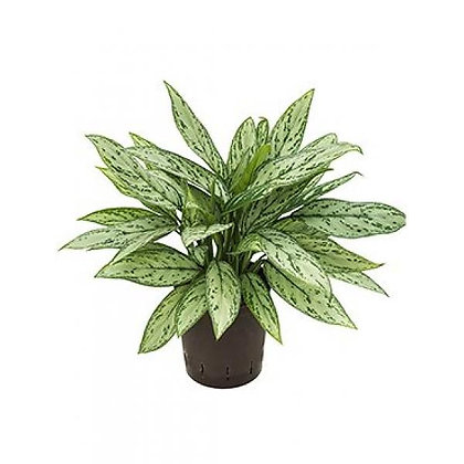 Aglaonema sliver queen (Chinese evergreens)