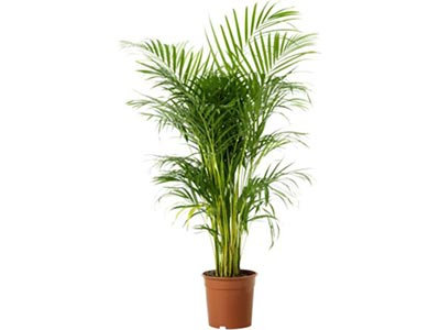 Dypsis lutescens (Areca Palm)