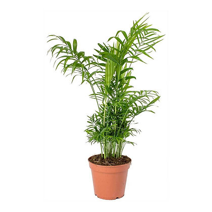 Chamaedorea elegance (Parlor palm)