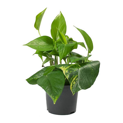 Epipremnum (Money Plant)