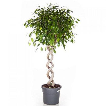Ficus benj exotica double spiral