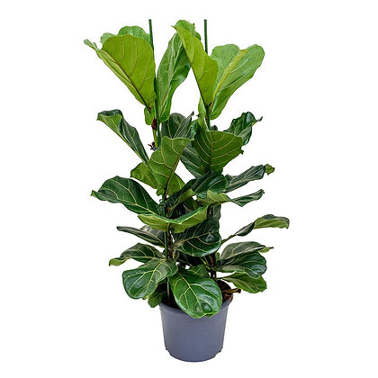 Ficus lyrata branched (Fiddle-leaf fig)