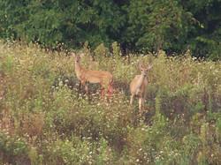 Deer_Meadow