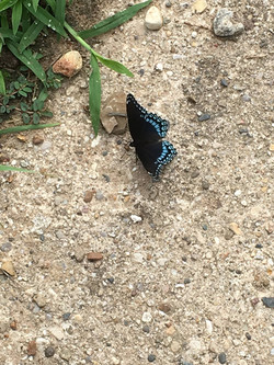 2017_0711_Red-Spotted Purple butterfly