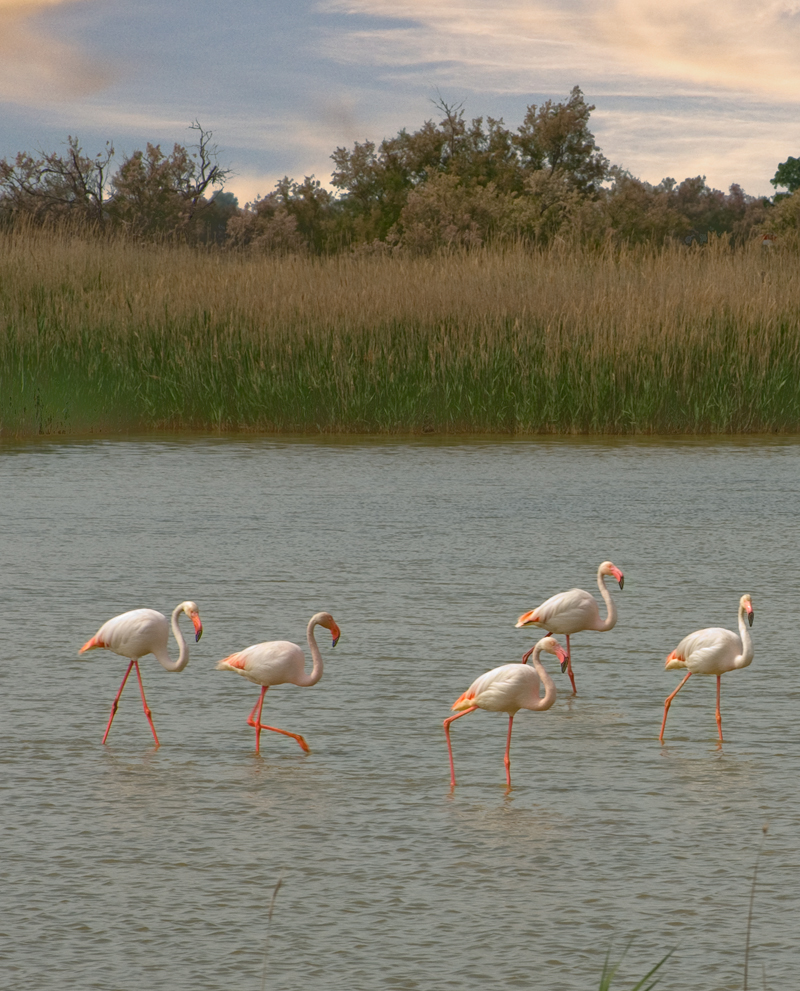 FlamingosinTheCamargue