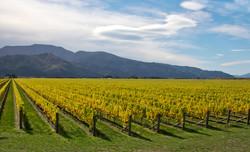 Rarangi vinyard, South is NZ