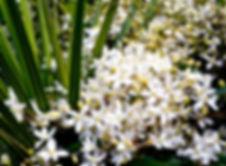 Clematis paniculata, Greytown NZ