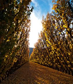 Trellised fruit trees