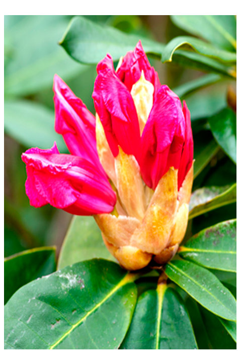 Pukeiti Rhododendron New Plymouth
