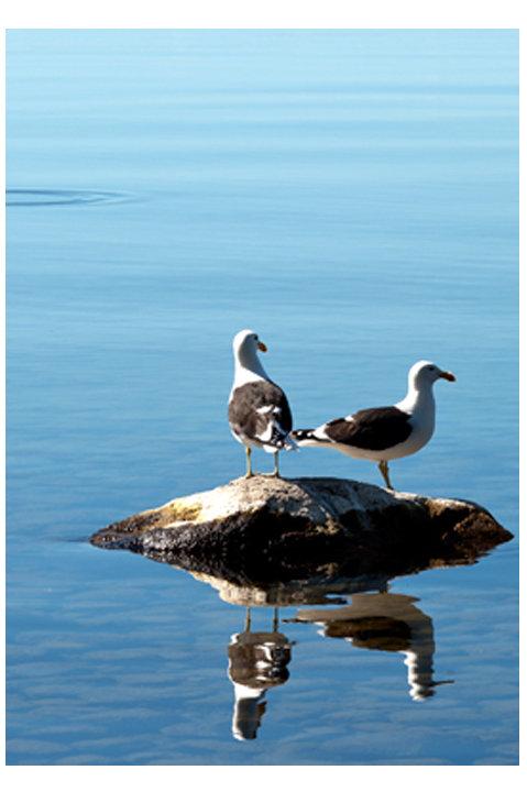 Gulls at Lake Taupo